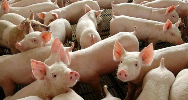 Carne Suínos Porcos