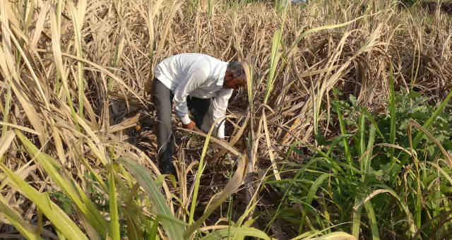 Cana de Açúcar Agricultura