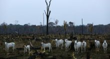 Gado Boi Vaca