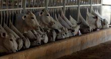 Vacas Gado Boi