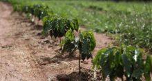 Café Cafeicultura Agricultura