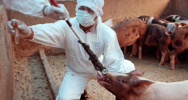 Agentes sanitários conduzem testes em porcos em Jacarta, Indonésia
