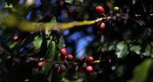 Café Cafeicultura Grãos Agricultura