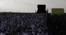 Colheita de algodão no distrito de Roda Velha, próximo a Luís Eduardo Magalhães (BA)