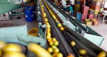 Trabalhadores selecionam laranjas em Limeira (SP)
