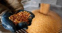 Milho Commodities Agonegócio