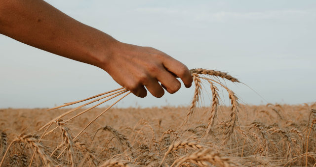 Trigo Grãos Agricultura Agronegócio Commodities