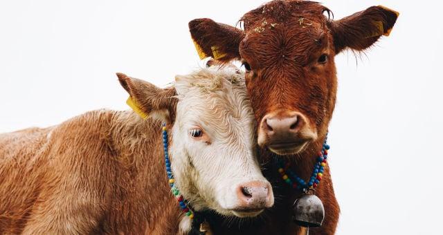 Projeto prevê pagamento do valor integral de animal doente abatido