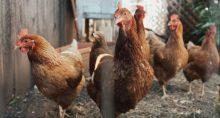 galinhas-frango