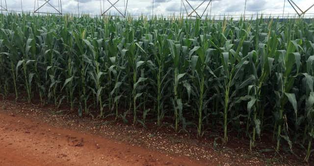 Plantio de milho em Itaí (SP)