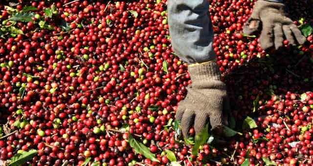 Café Grãos Agricultura Agronegócio