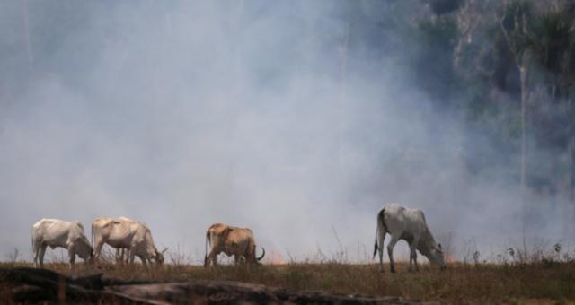 Gado Amazônia Desmatamento Meio Ambiente Agronegócio Agropecuária