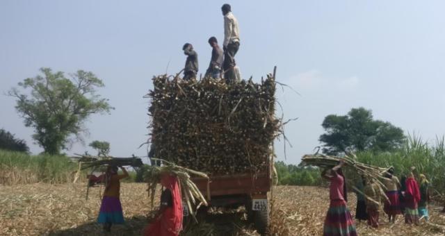 Cana-de-açúcar Índia