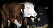 Gado Boi Carnes Agropecuária Agronegócio