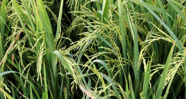 Arroz Grãos Agricultura Agronegócio