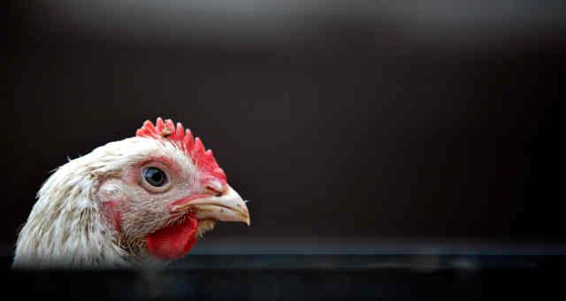 frango, carne de frango, aves, avicultura