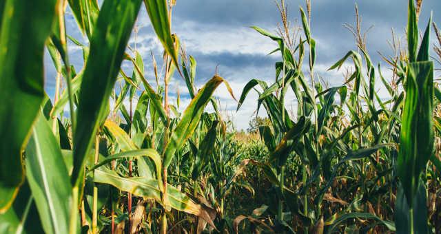Milho Grãos Agricultura