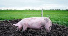 Suínos Porcos Carnes