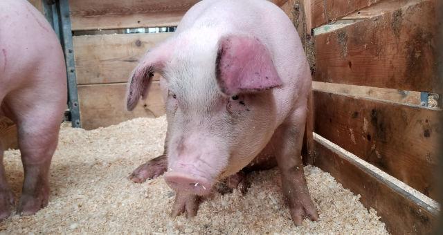Suínos Porcos