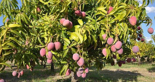 Manga Frutas