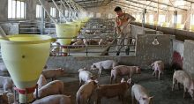 Porcos, Pecuária, China