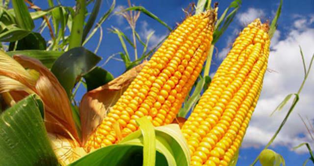 Milho Grãos Agronegócio Commodities