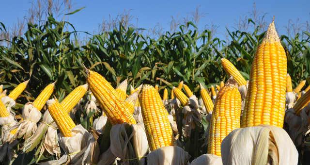 Milho Grãos Commodities Agronegócio