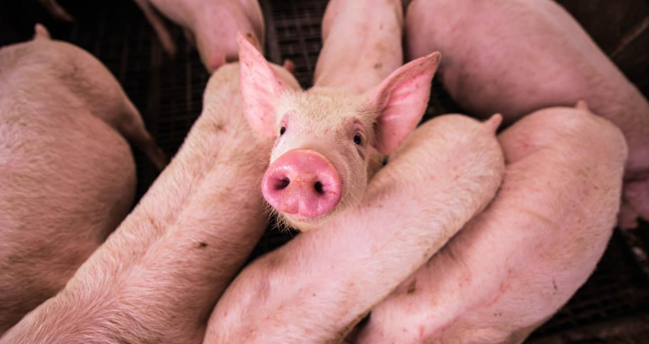 Suínos Carnes Commodities Agronegócio