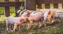 Suínos Porcos Carnes Commodities Agronegócio