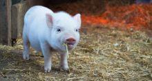 Suínos Porcos Agropecuária Agronegócio Carnes