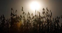 Plantio de soja na Argentina