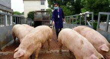 Porcos chegando a abatedouro na China