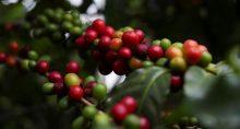 Café Grãos Commodities Agronegócio