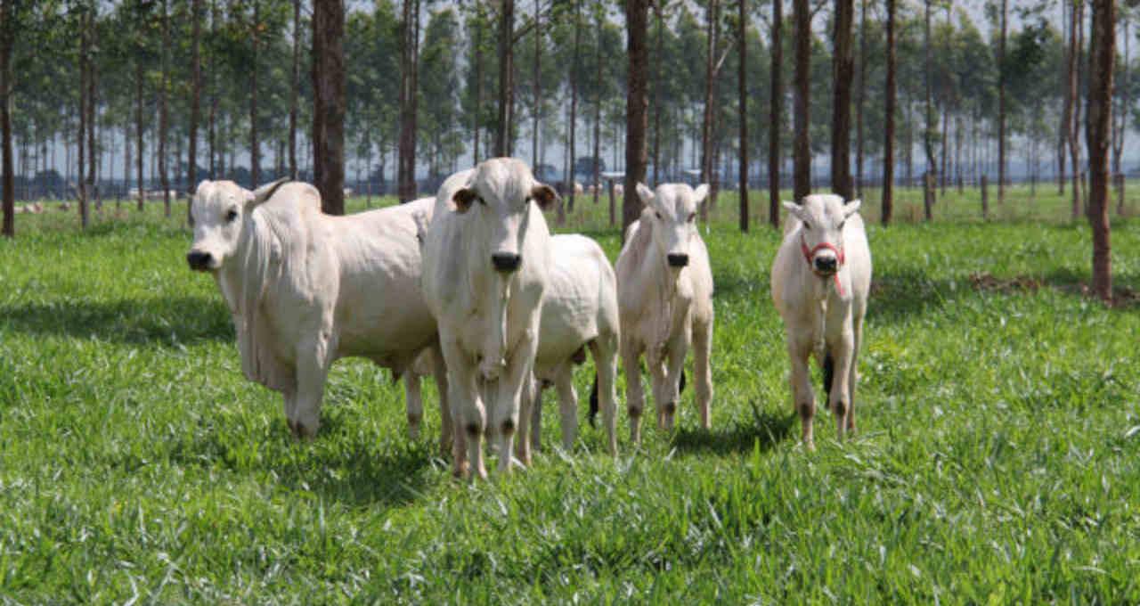 Boi Gado Pecuária de corte Agronegócio