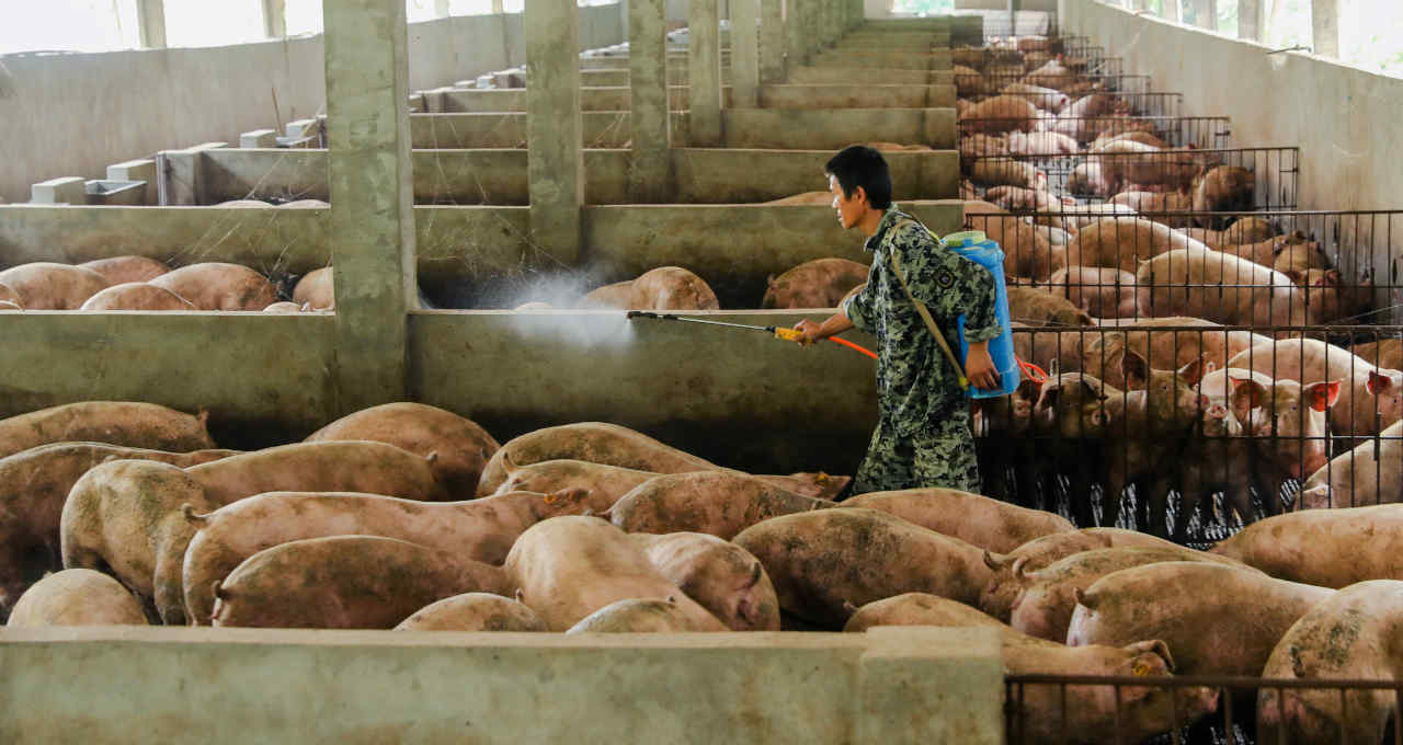 Suínos Porcos Peste Suína Africana