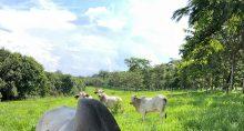 Pecuária de corte Boi Carnes Agronegócio