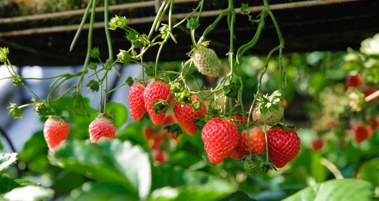 Morangos Frutas