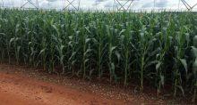 Safra de milho
